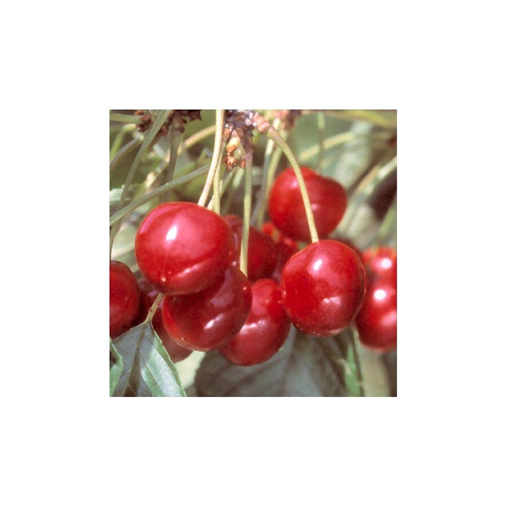 cerisier bigarreau 39 van 39 taille quenouille pot de 10 l plantes et jardins. Black Bedroom Furniture Sets. Home Design Ideas