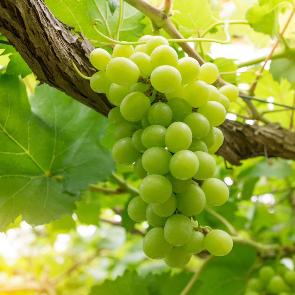 Vigne 'Italia' - Plantes et Jardins