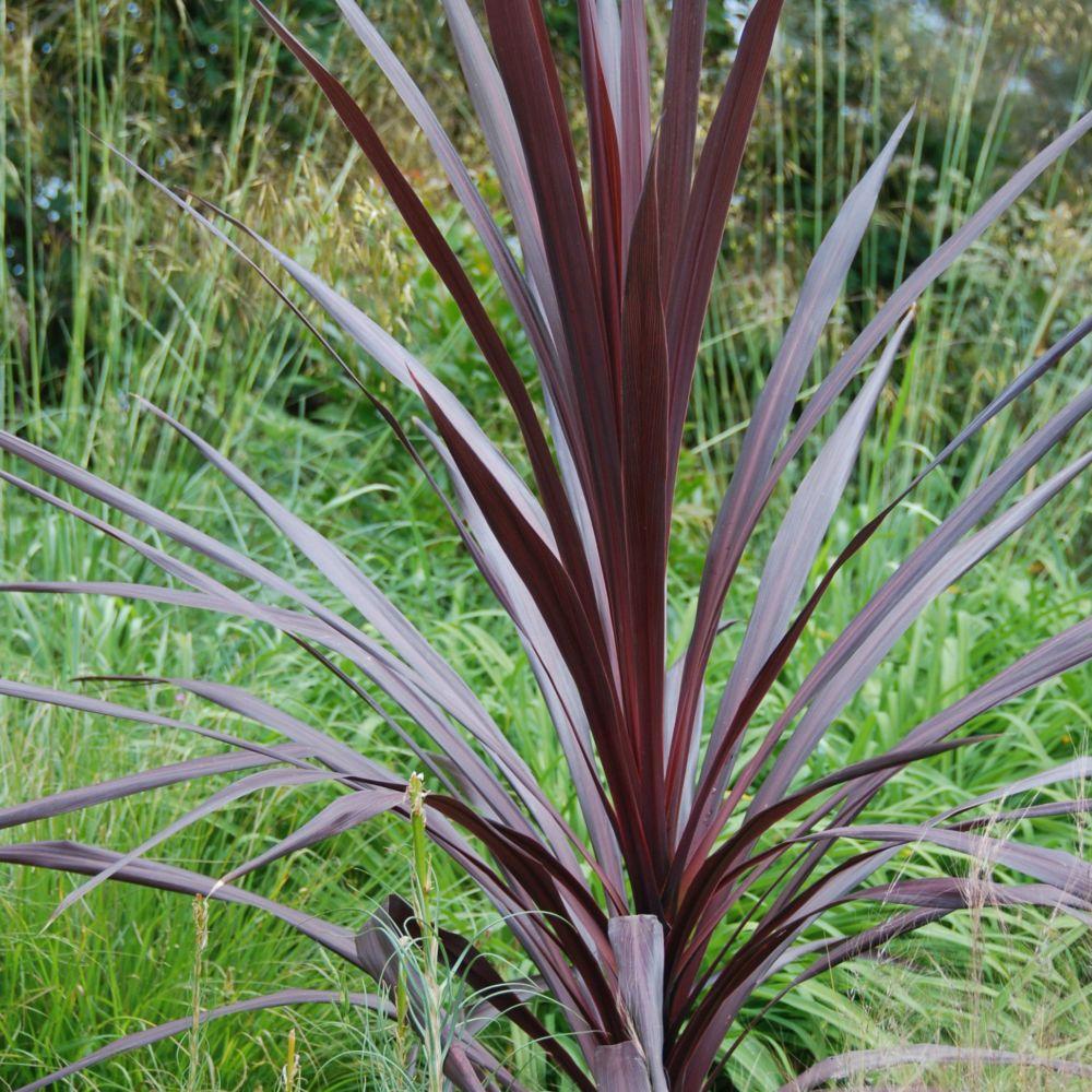 cordyline 39 red star 39 plantes et jardins. Black Bedroom Furniture Sets. Home Design Ideas