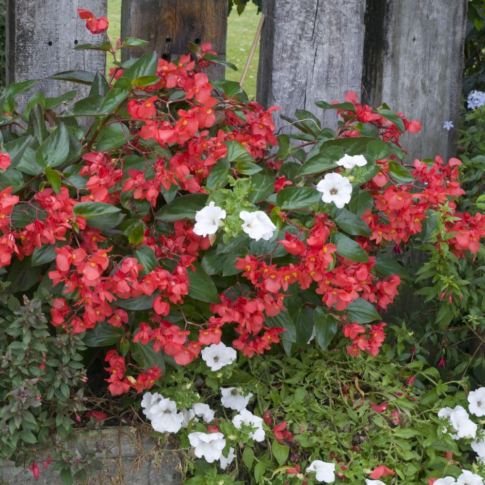 B gonia semperflorens 39 ambassador 39 rouge plantes et jardins for Balconniere hiver