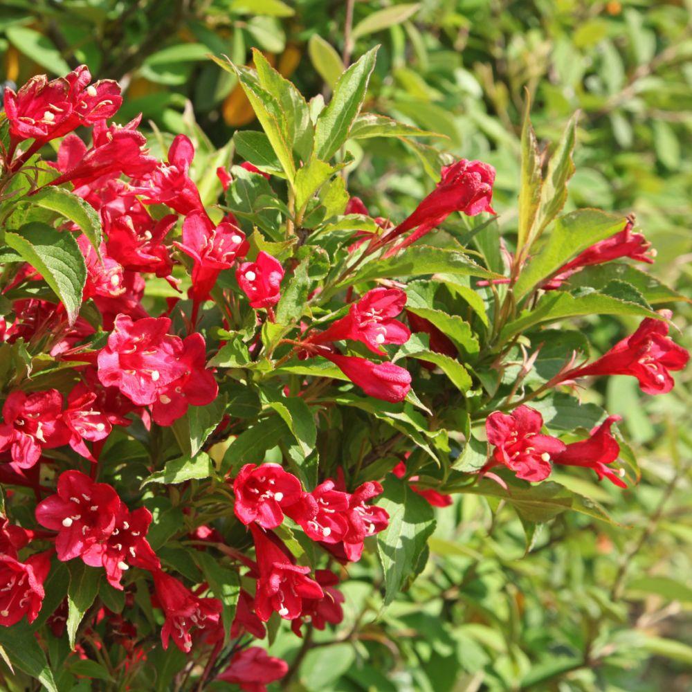 Weigelia 39 bristol ruby 39 plantes et jardins for Plantes fleuries exterieur en pot