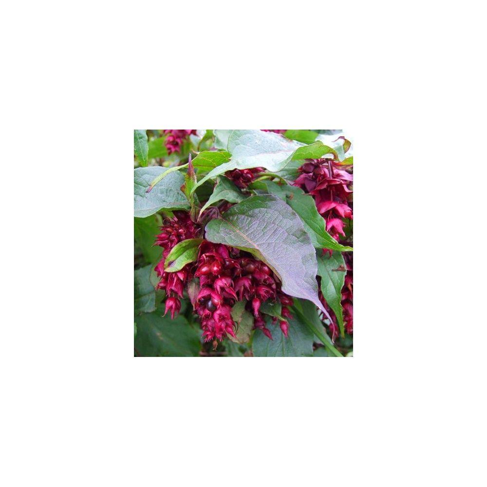 Arbre aux faisans 39 purple rain 39 plantes et jardins for Jardin aux plantes
