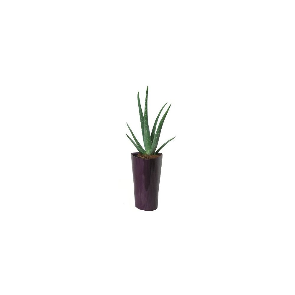aloe vera rempot dans pot lechuza aubergine plantes et. Black Bedroom Furniture Sets. Home Design Ideas