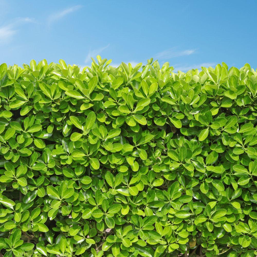 Fusain du japon 39 vert 39 plantes et jardins for Plante et jardin catalogue
