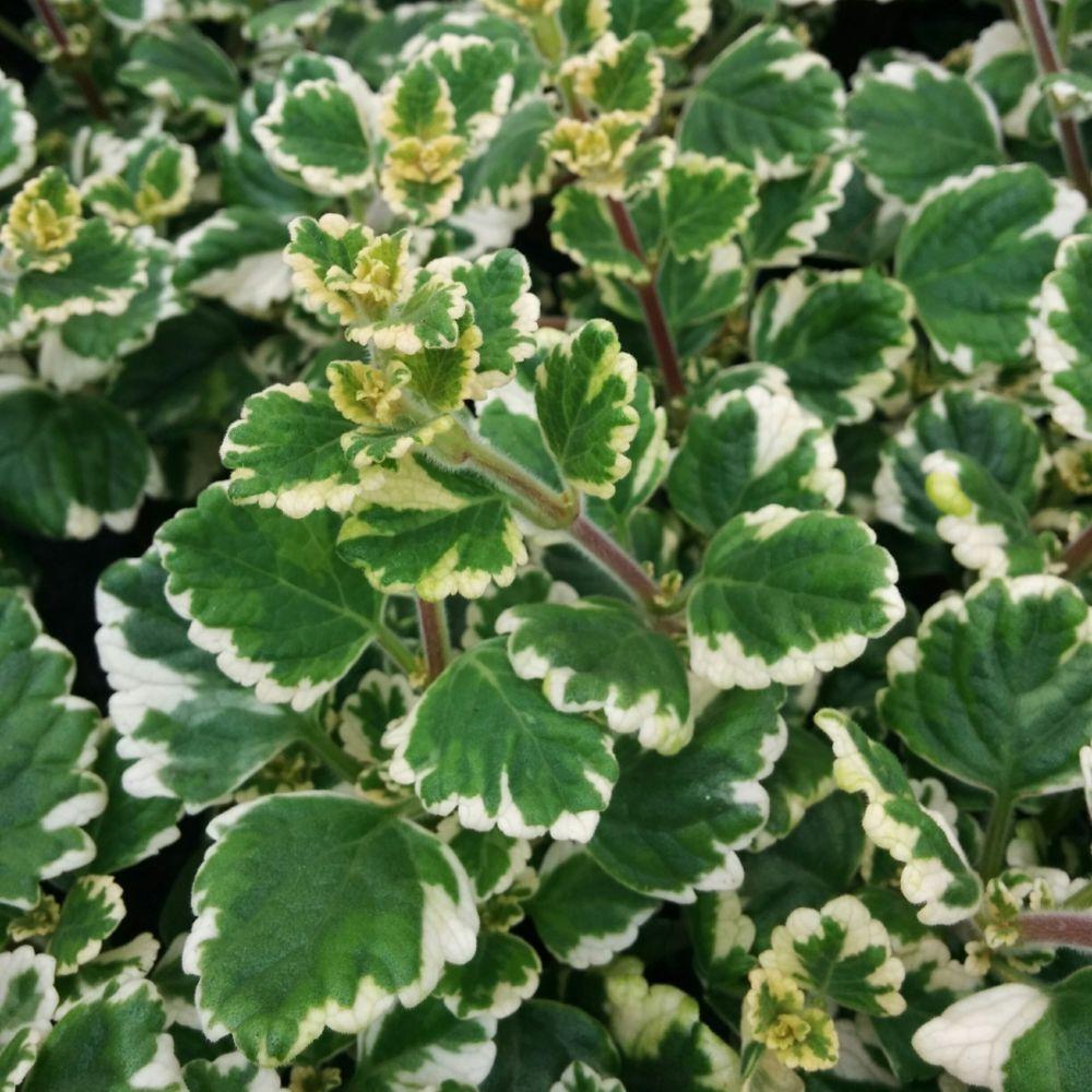 Plectranthe panach plantes et jardins for Soldes plantes vertes