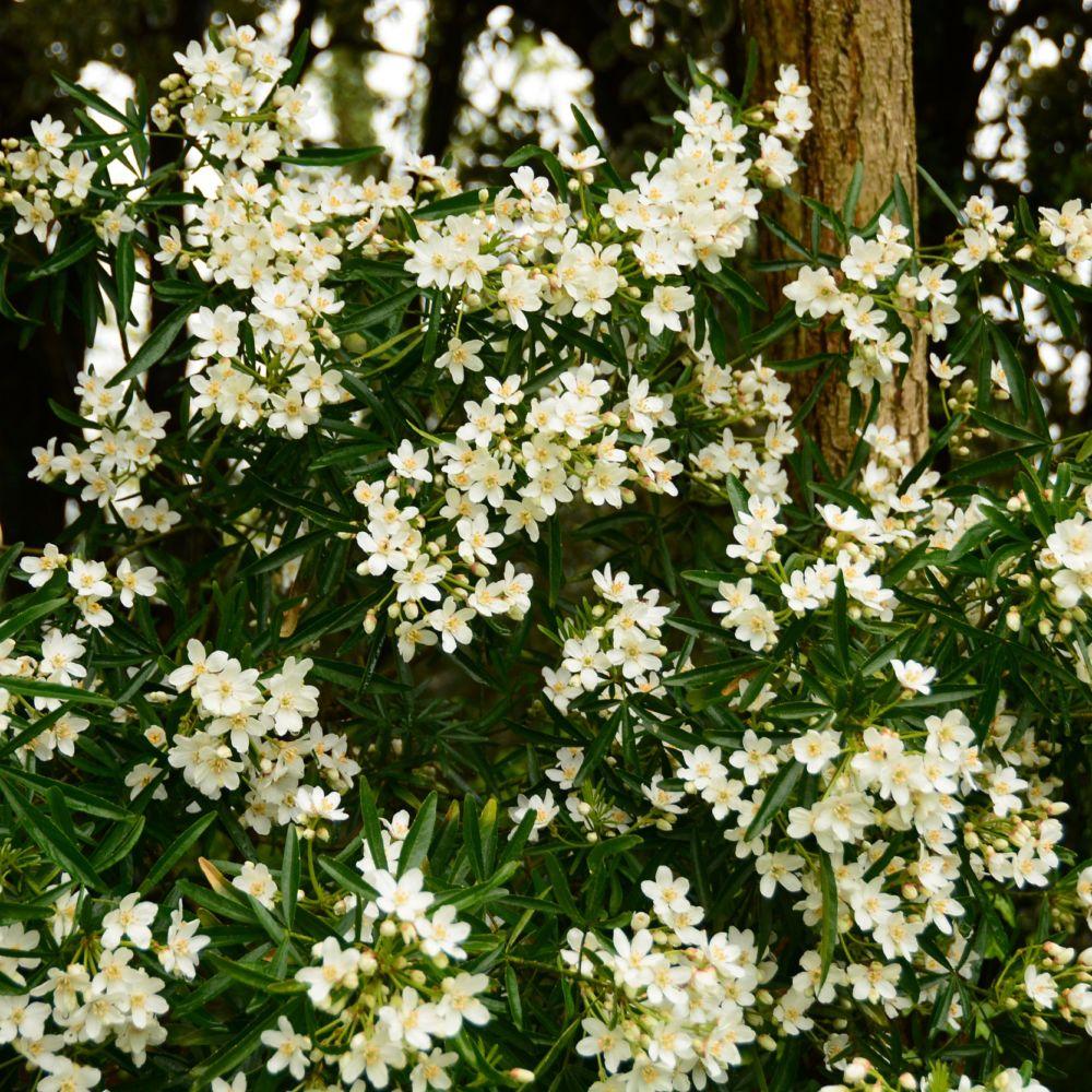 Oranger du mexique 39 aztec pearl 39 plantes et jardins - Oranger du mexique aztec pearl ...