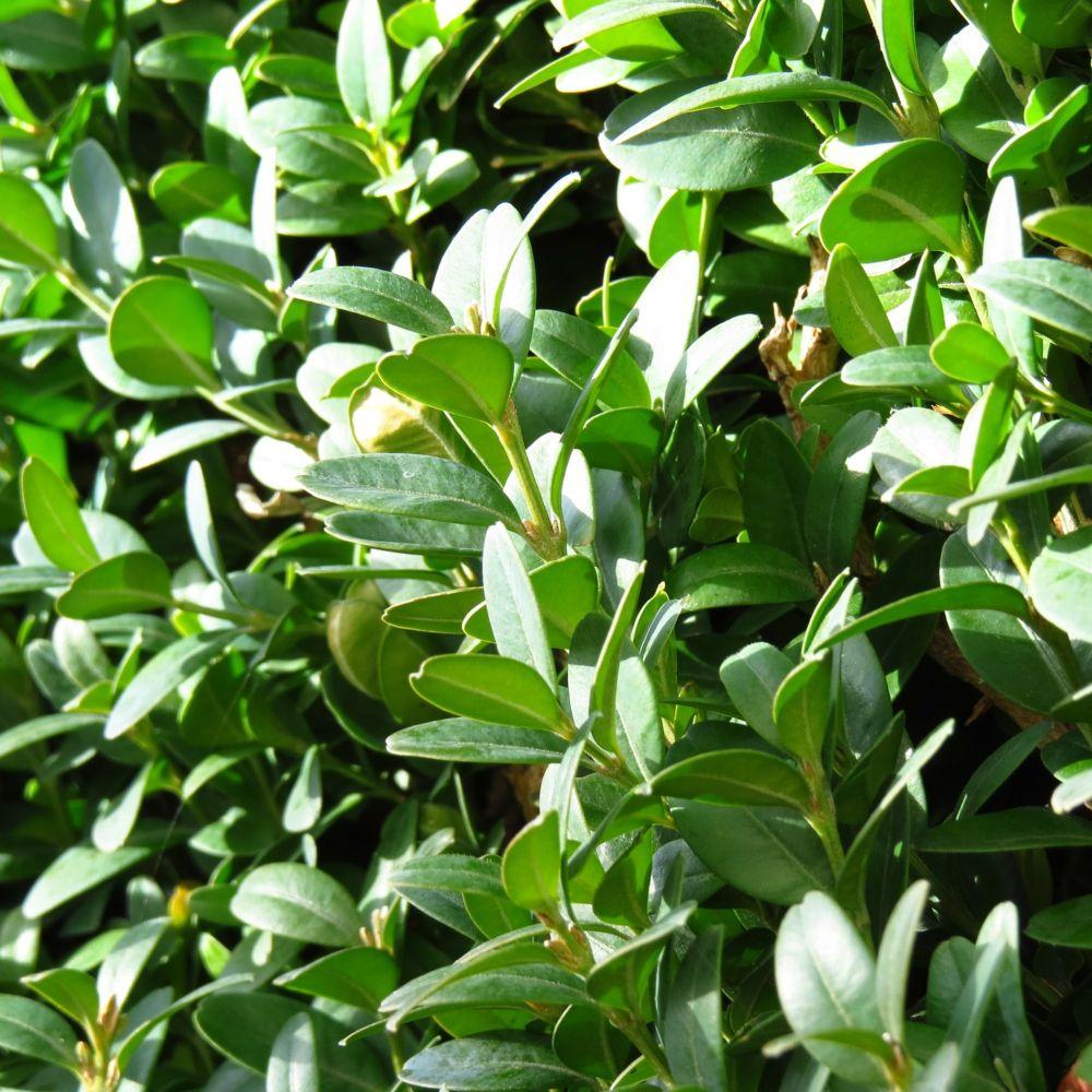 Buis commun plantes et jardins for Plante et jardin catalogue