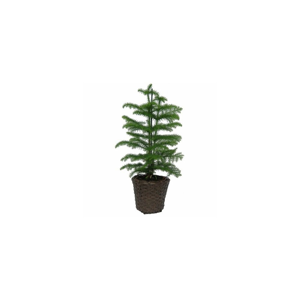 araucaria cache pot tress brun plantes et jardins. Black Bedroom Furniture Sets. Home Design Ideas