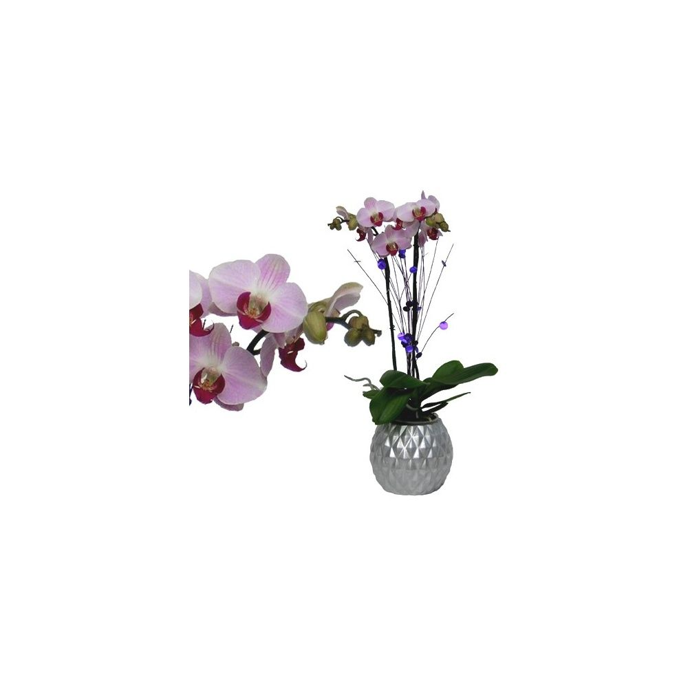 orchid e phalaenopsis rose en fleurs 2 hampes florales cache pot boule argent plantes et. Black Bedroom Furniture Sets. Home Design Ideas