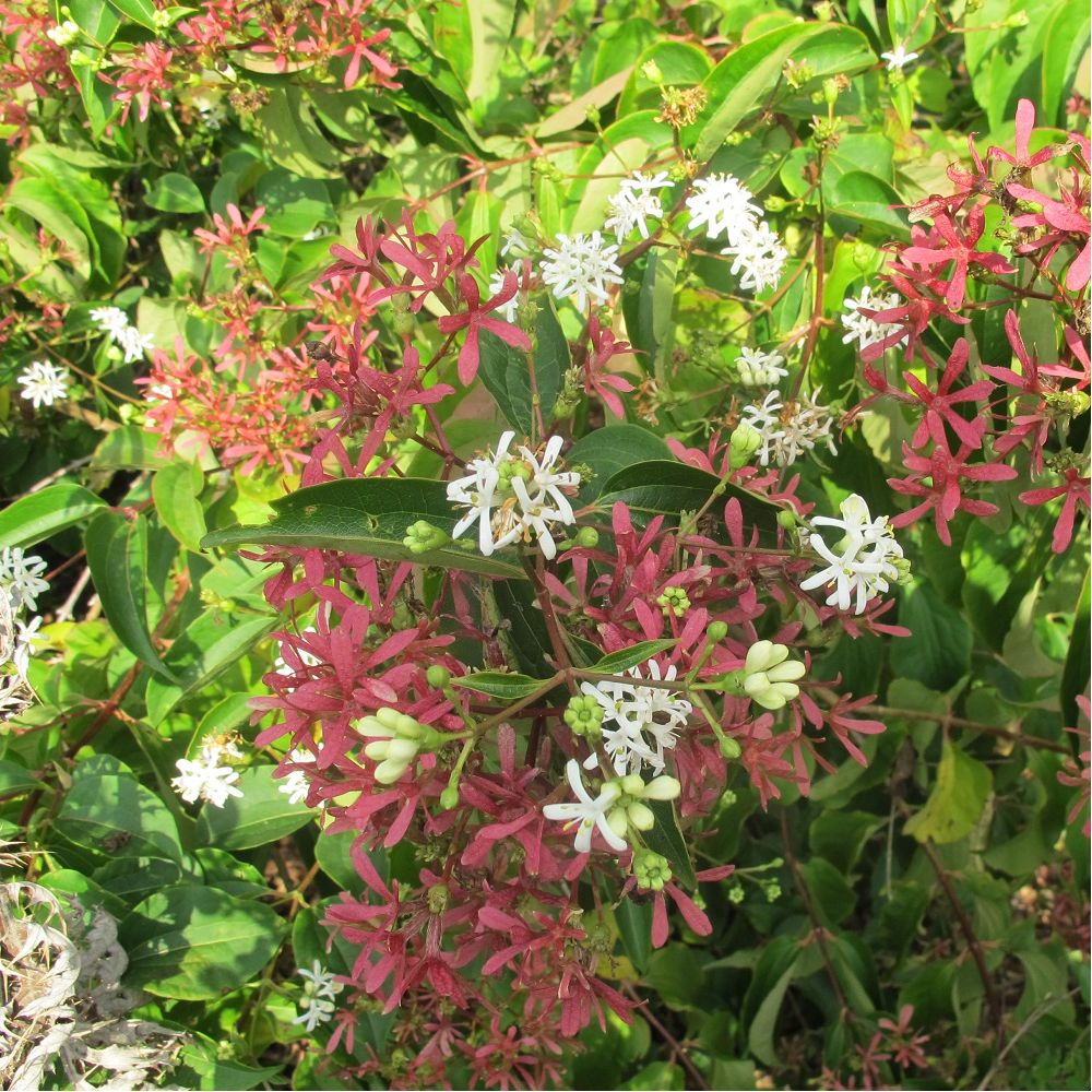 Heptacodium plantes et jardins for Plante et jardin catalogue