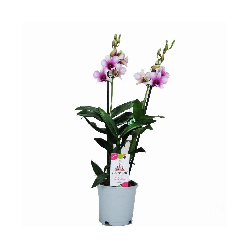 orchid e dendrobium polar fire 2 tiges plantes et jardins. Black Bedroom Furniture Sets. Home Design Ideas