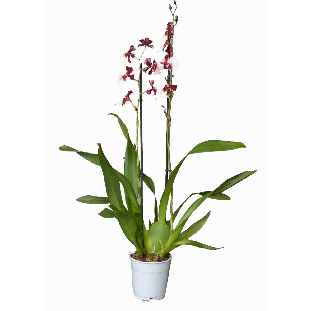 Entretien Orchidée En Pot : orchid e cambria bartley schwarz 2 tiges plantes et jardins ~ Nature-et-papiers.com Idées de Décoration