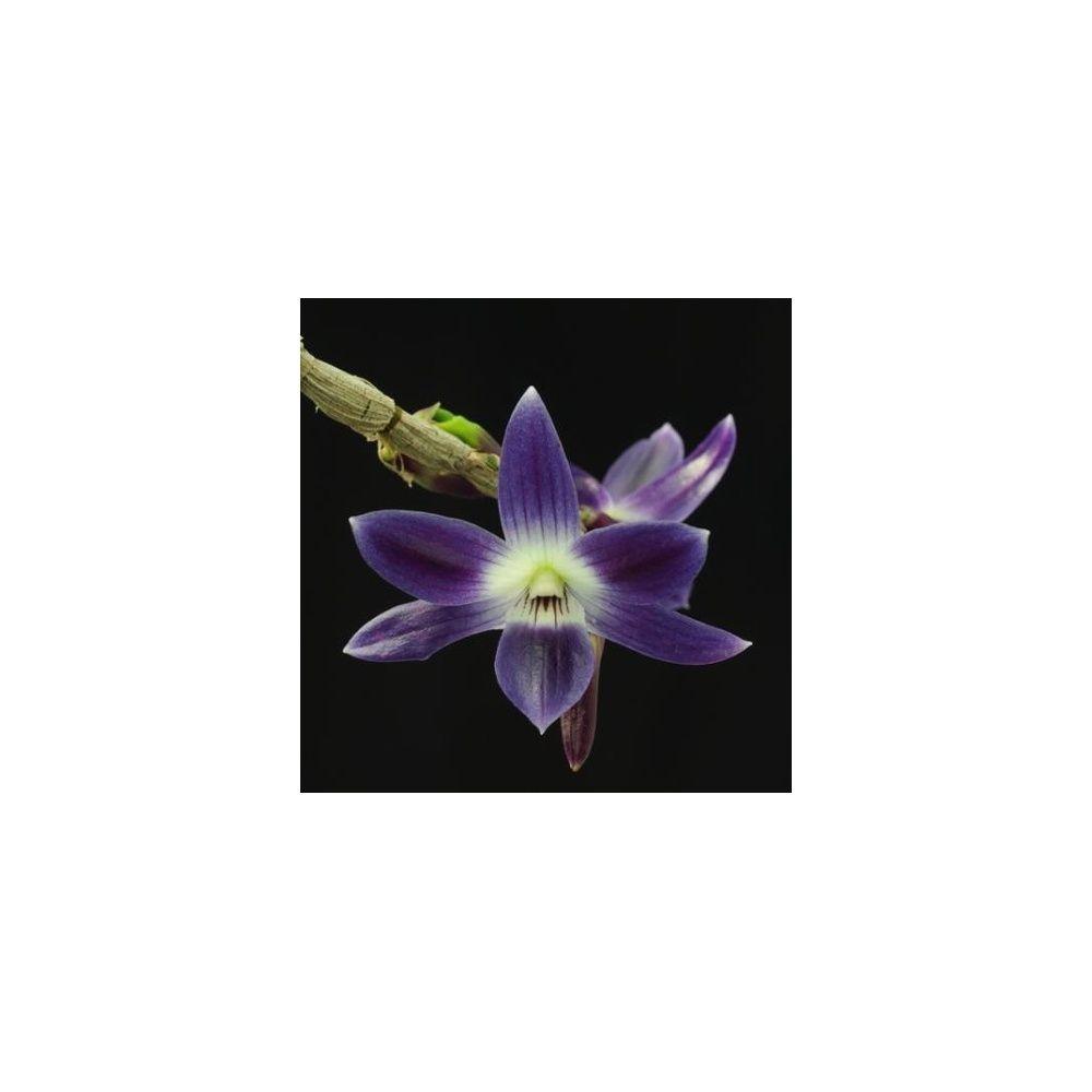 orchid e dendrobium victoria reginae sur plaque de bois plantes et jardins. Black Bedroom Furniture Sets. Home Design Ideas