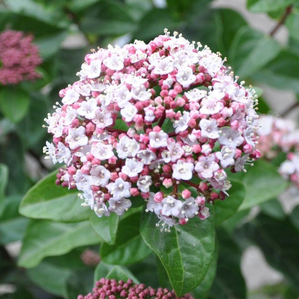 Viorne tin 39 loren 39 plantes et jardins for Soldes plantes vertes