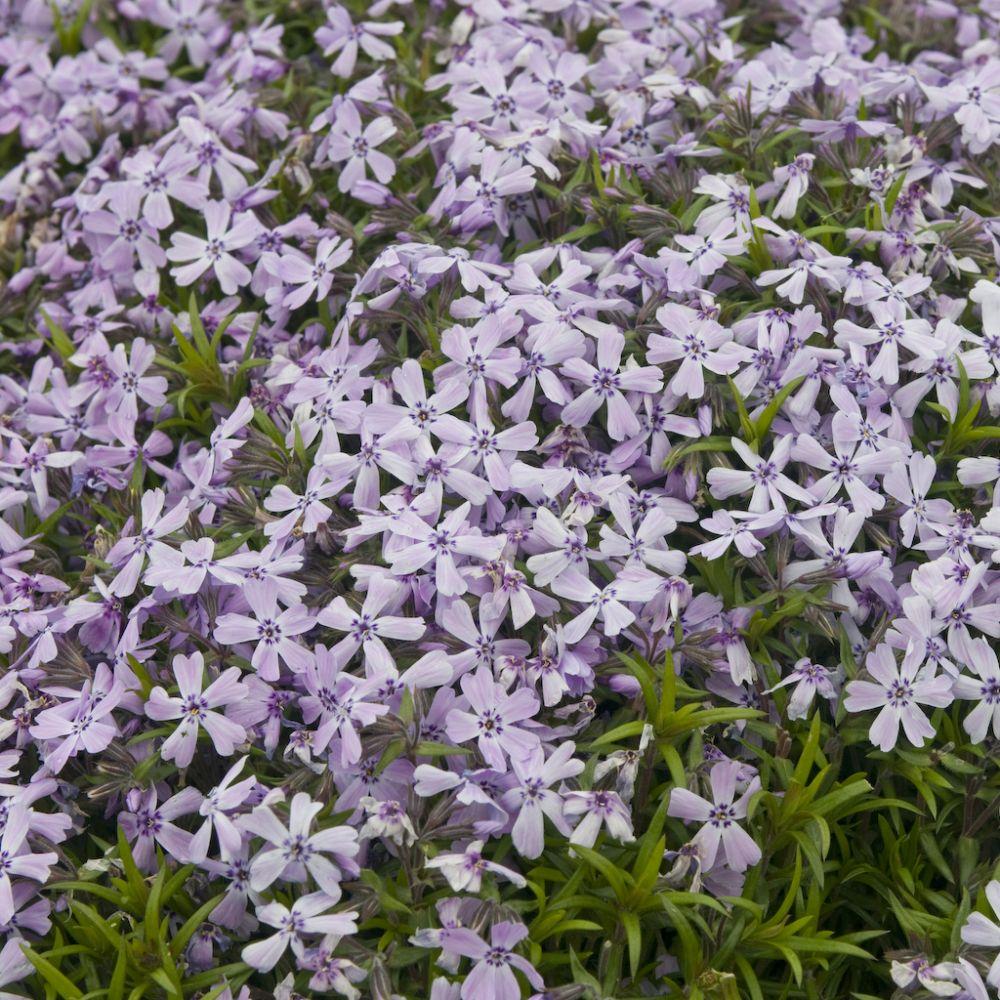 Couvre sol rampant persistant croissance rapide fabulous - Phlox vivace couvre sol ...