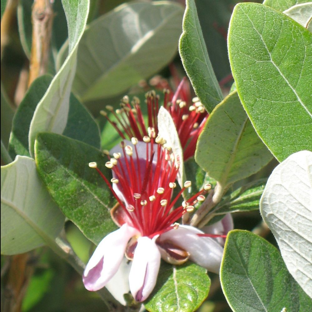 Souvent Goyavier du Brésil (Feijoa) - Plantes et Jardins ZH26