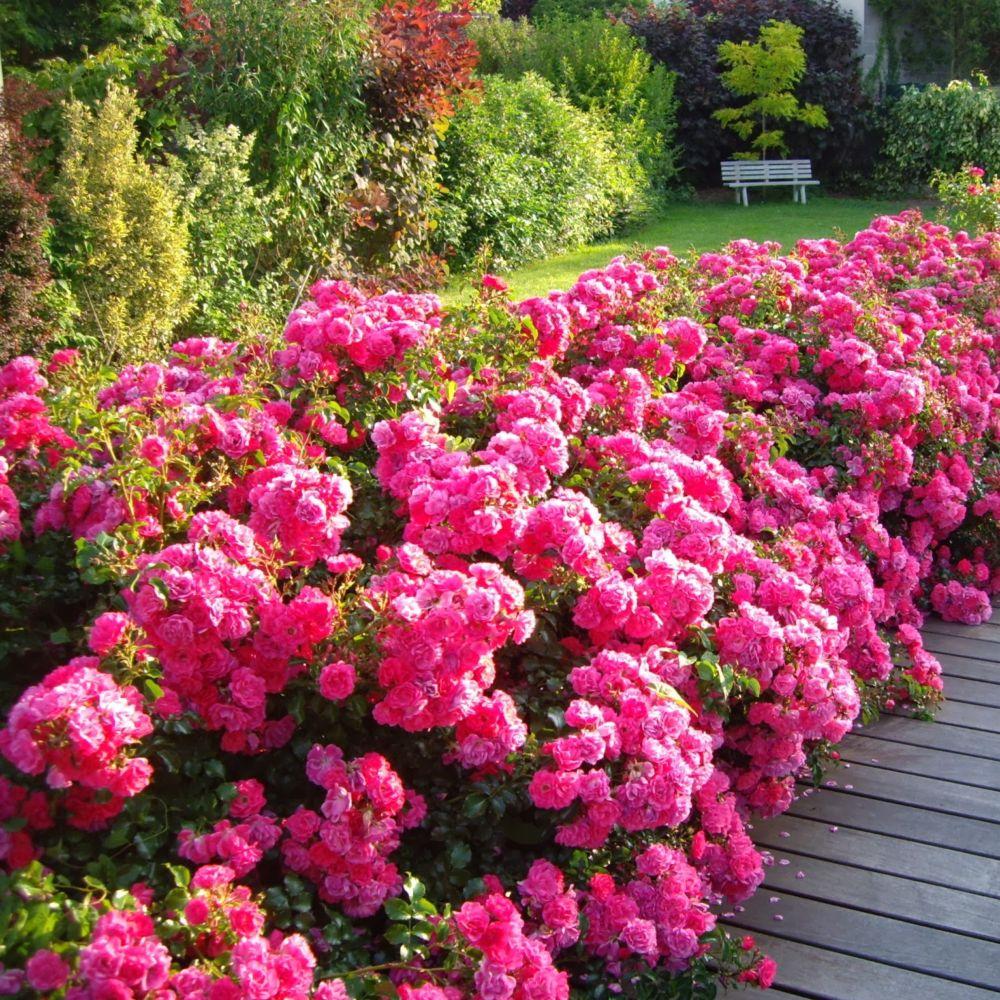 D corosier grimpant 39 emera 39 plantes et jardins for Plantes et jardins adresse