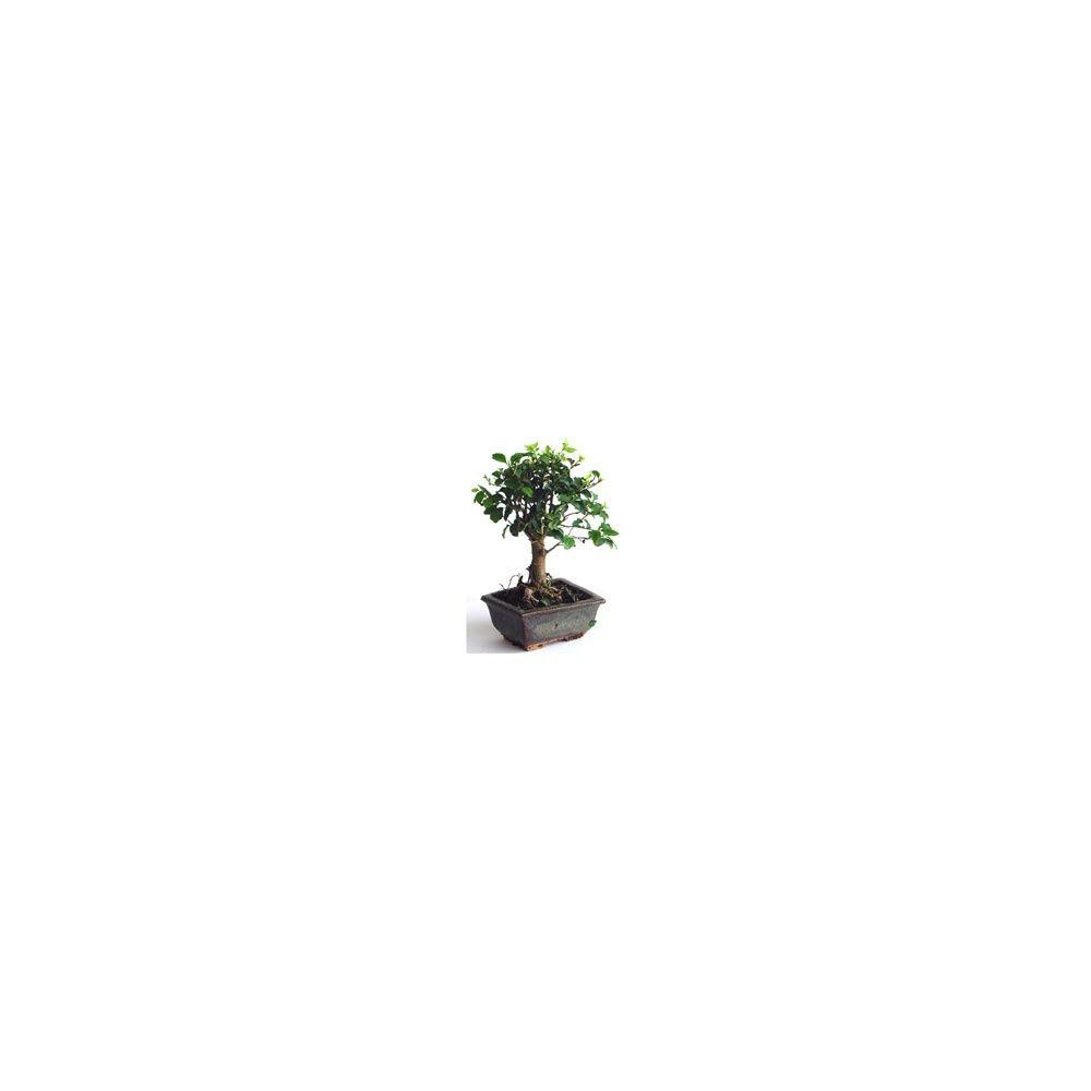 le bonsa un v ritable petit arbre d 39 int rieur plantes et jardins. Black Bedroom Furniture Sets. Home Design Ideas