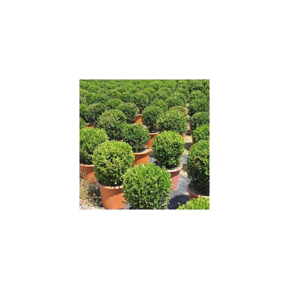buis boule petites feuilles 39 faulkner 39 sur tige plantes et jardins. Black Bedroom Furniture Sets. Home Design Ideas