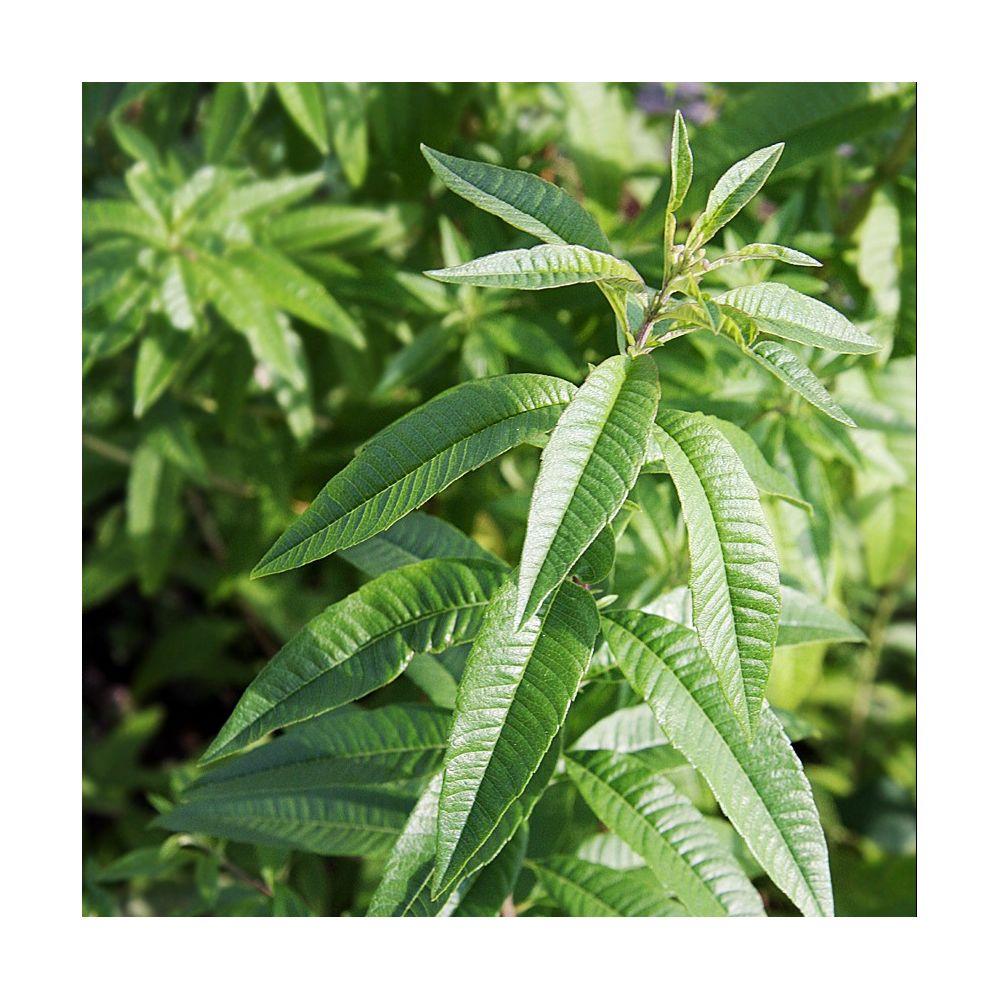 Quand planter la citronnelle verveine citronnelle plante mdicinale les groseilles maquereau - Quand planter la lavande ...