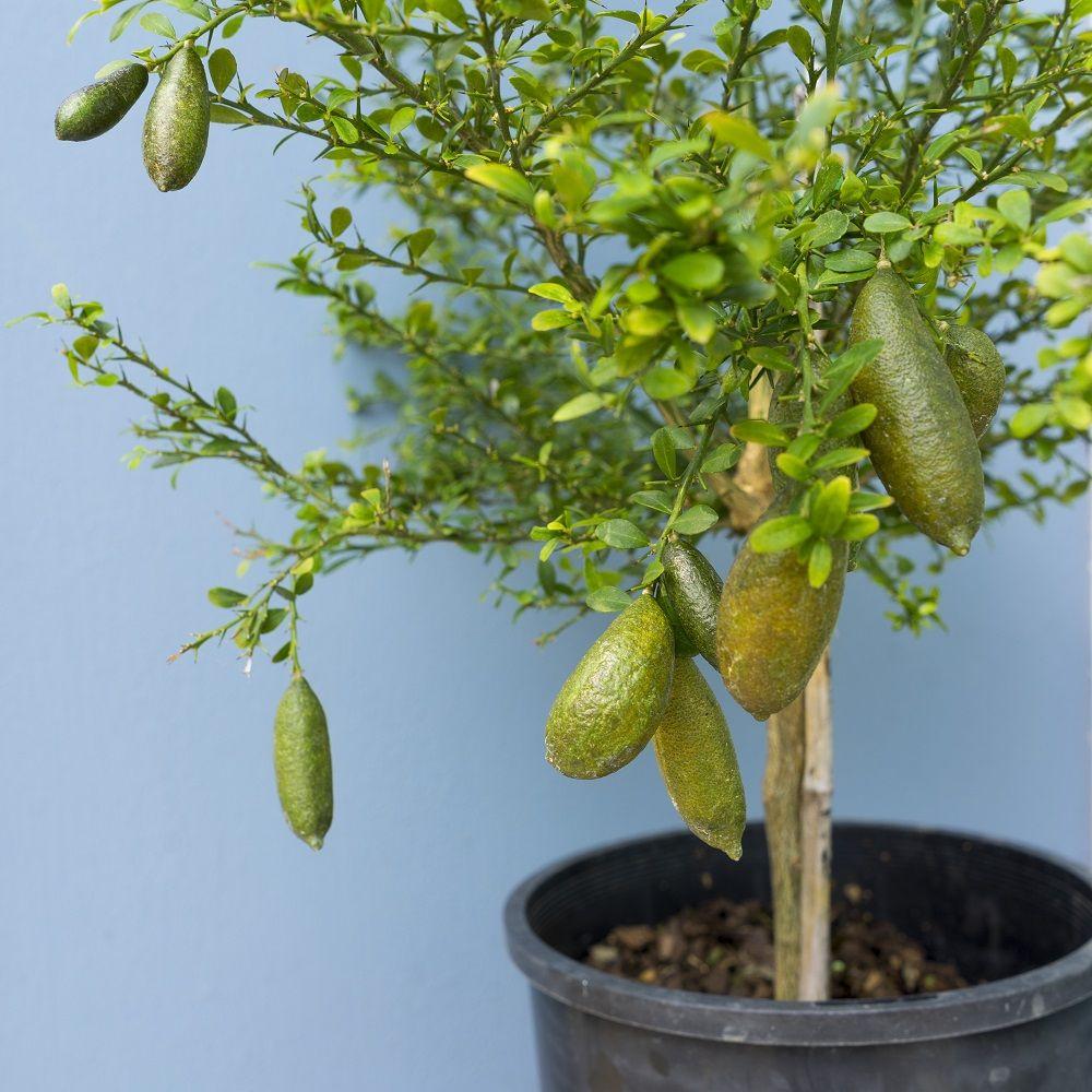 Citron caviar plantes et jardins for Achat plante jardin