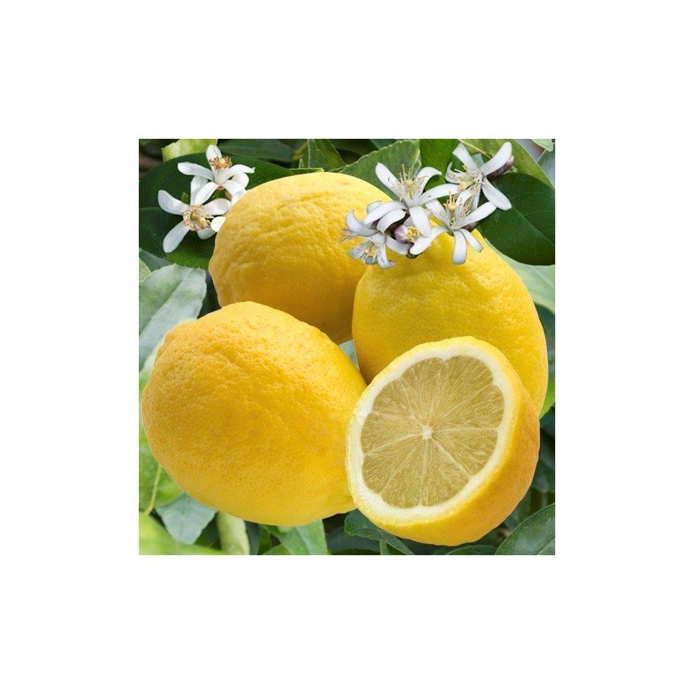 100 citrus limon 4 saisons citronnier citronnier for Jardin 4 saisons albi
