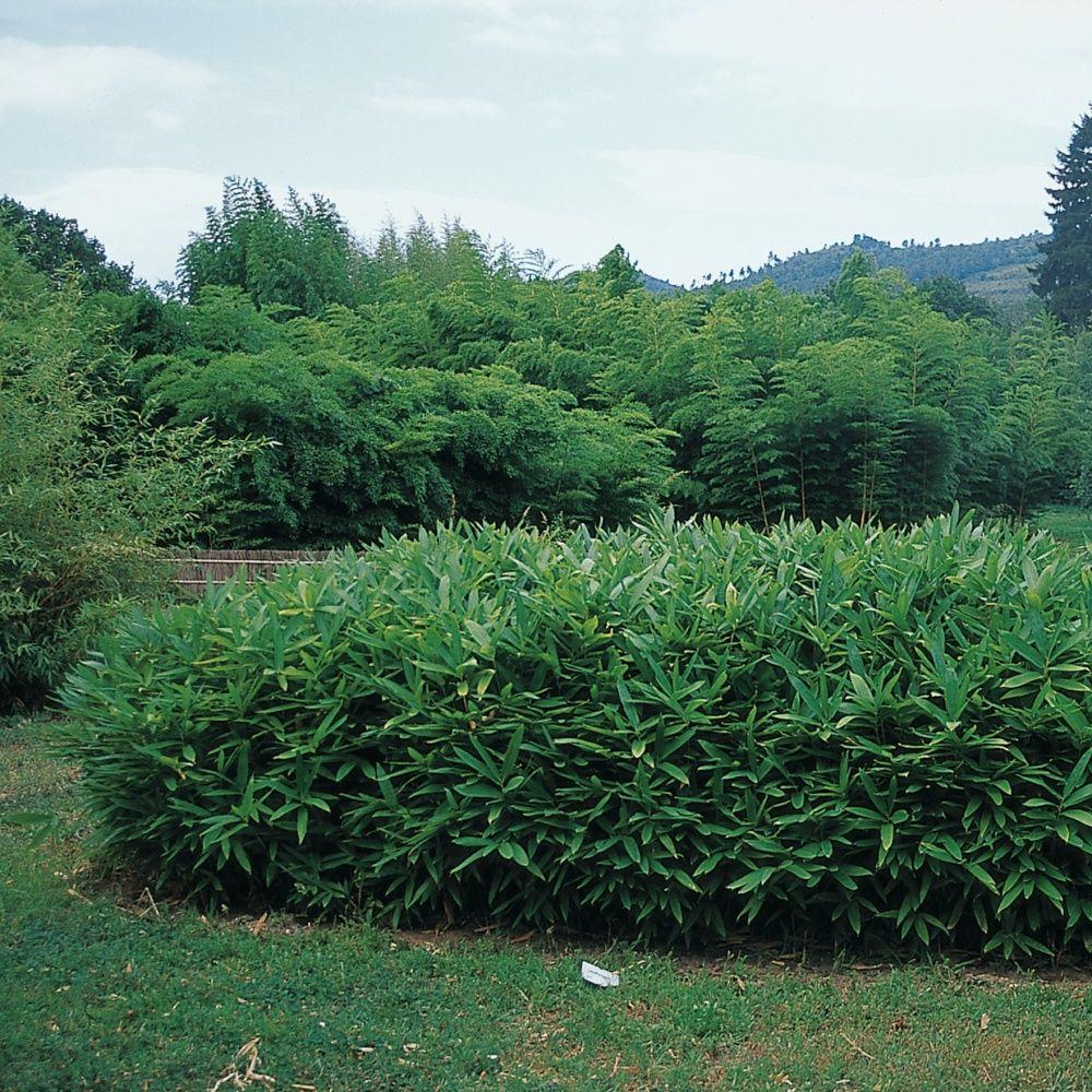 Petit bambou sasa tsuboiana plantes et jardins for Achat plante jardin