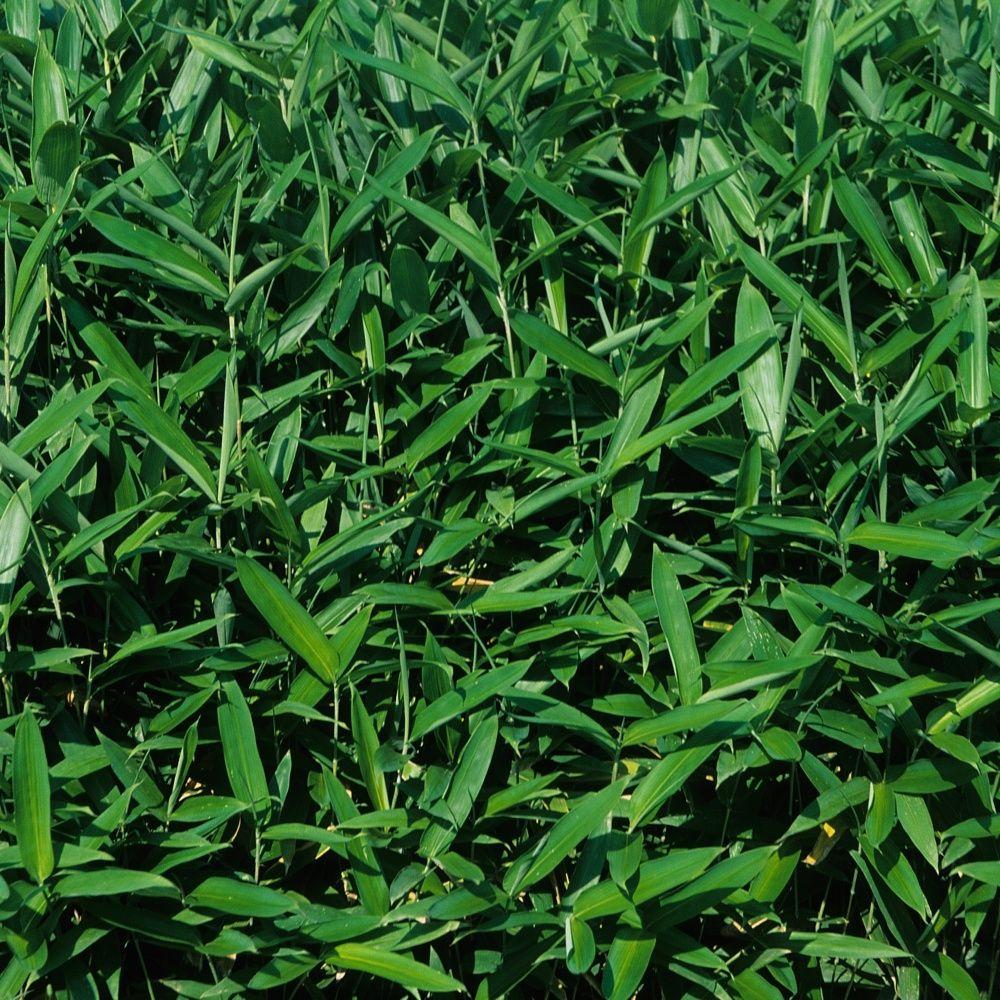 Petit bambou sasa tsuboiana plantes et jardins for Jardin et plantes