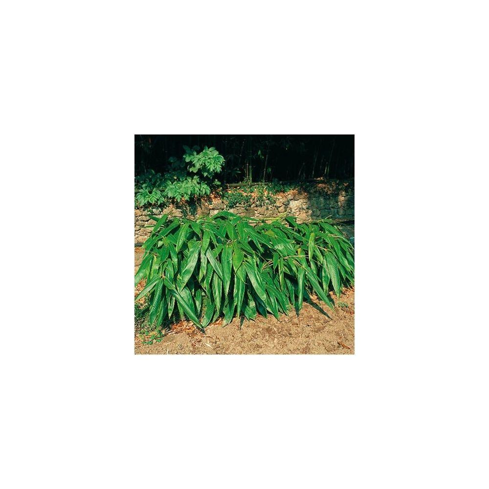 Petit bambou sasa tessellata plantes et jardins for Plantes et jardins adresse