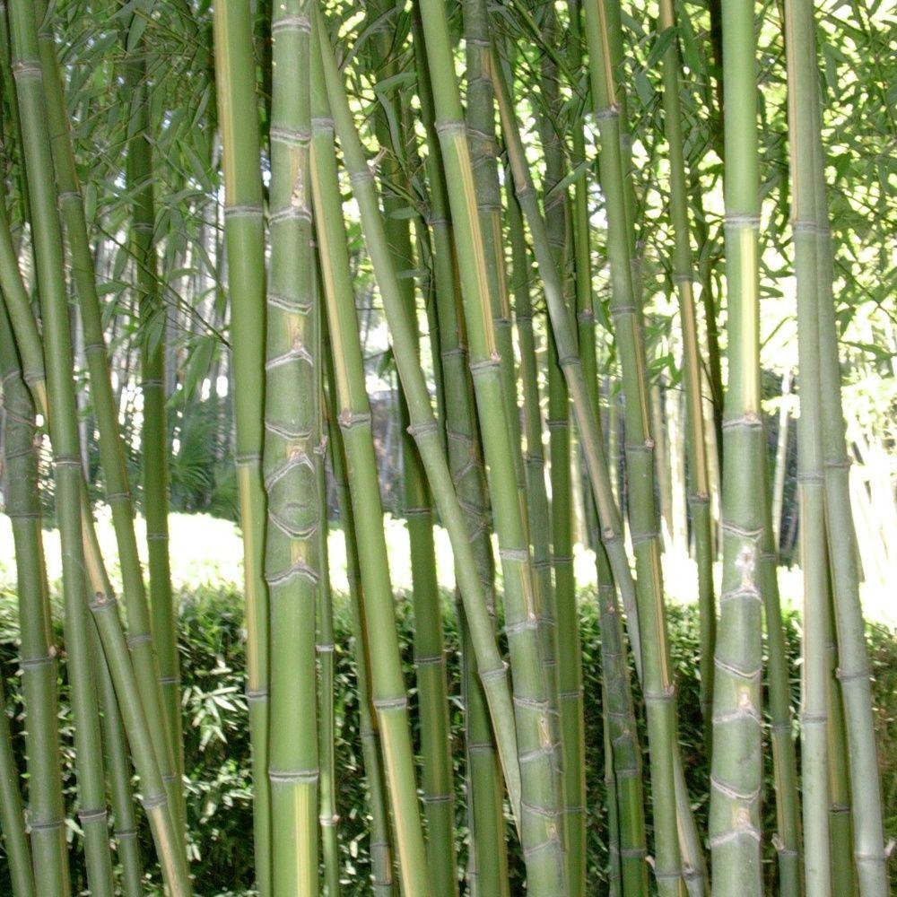 Bambou moyen phyllostachys aurea 39 flavescens inversa for Bambou moyen phyllostachys bissetii