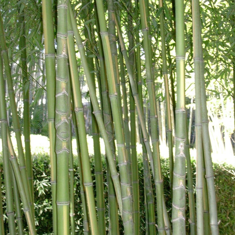 bambou moyen phyllostachys aurea 39 flavescens inversa 39 plantes et jardins. Black Bedroom Furniture Sets. Home Design Ideas
