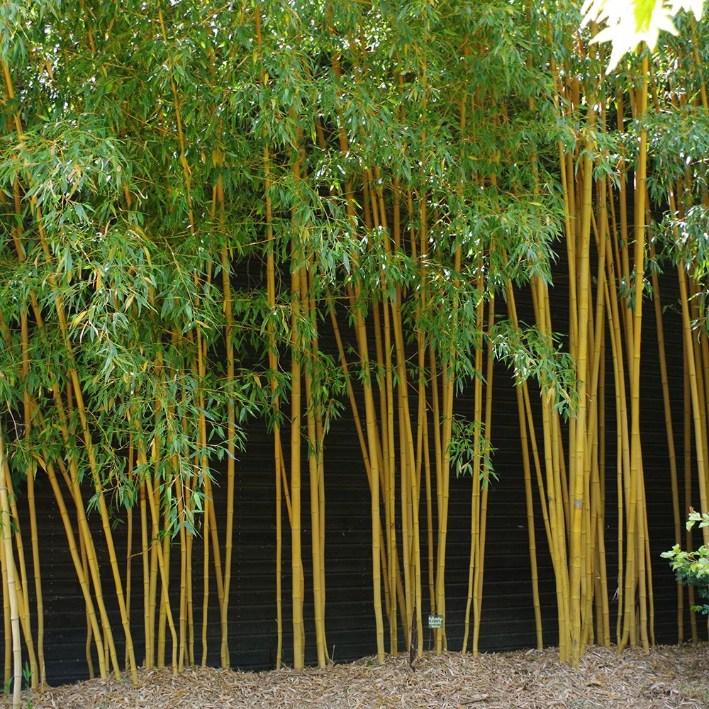 Bambou moyen phyllostachys aurea 39 holochrysa 39 plantes for Jardin et plantes