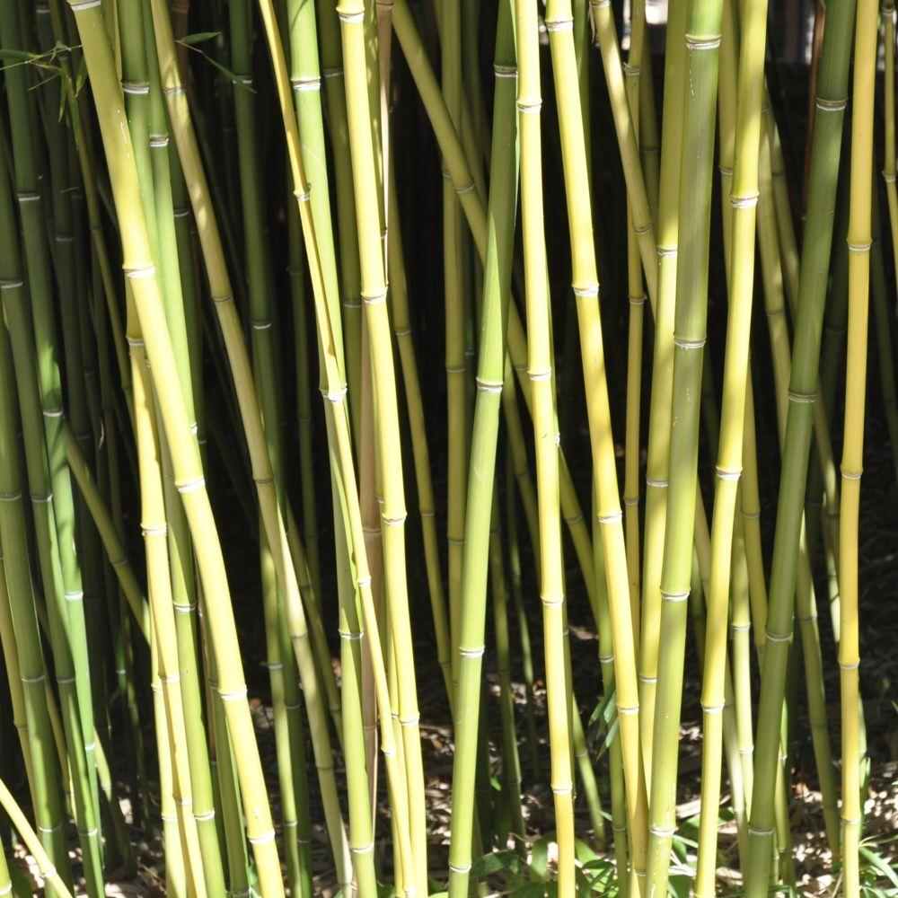 Bambou moyen phyllostachys humilis plantes et jardins for Bambou moyen phyllostachys bissetii
