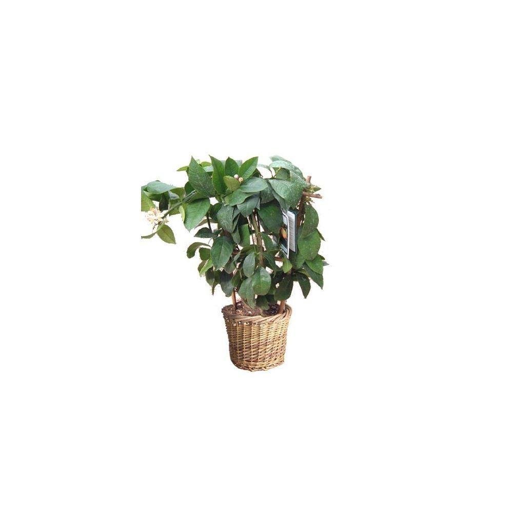 citronnier paliss cache pot plantes et jardins. Black Bedroom Furniture Sets. Home Design Ideas