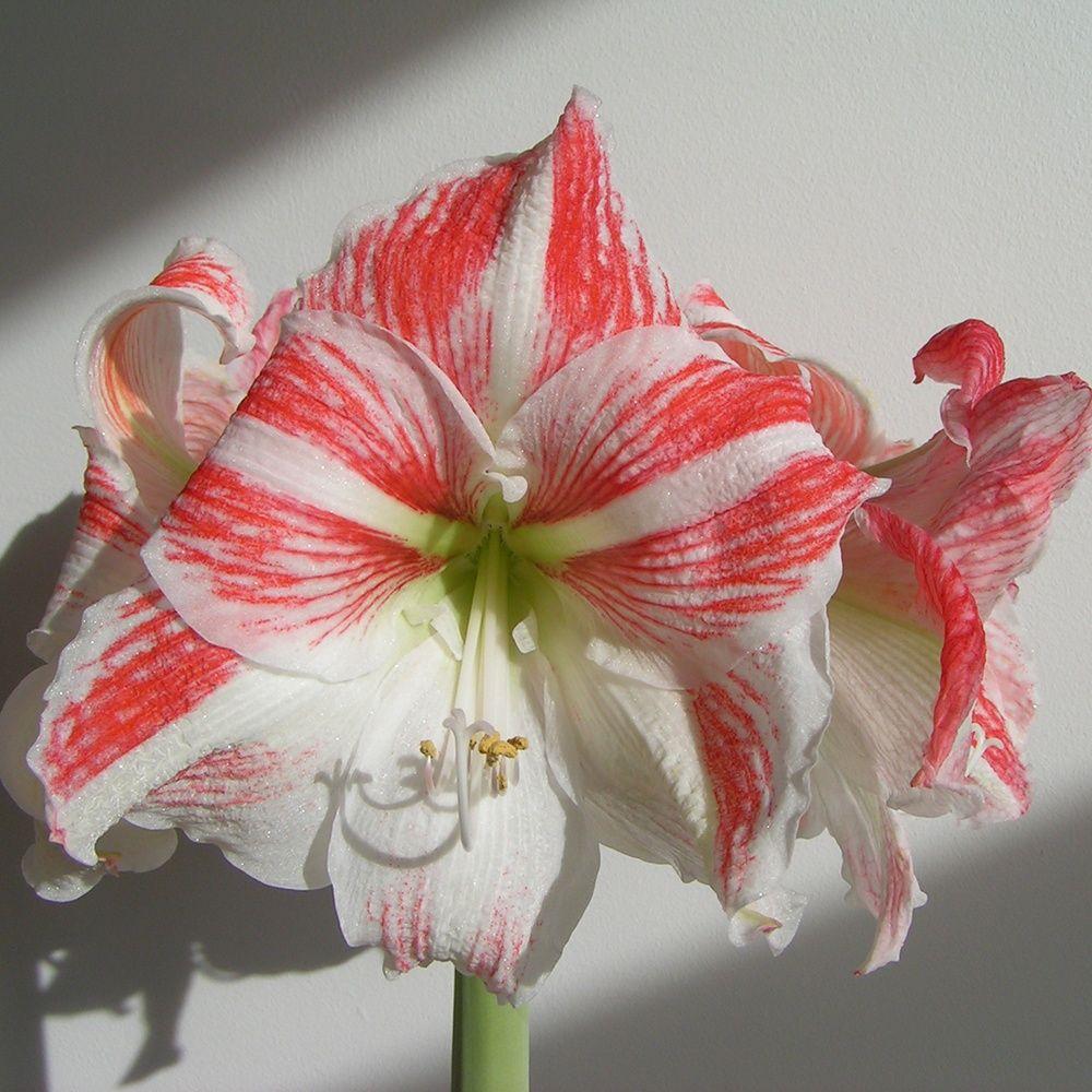 Amaryllis 39 clown 39 plantes et jardins for Amaryllis ne fleurit pas