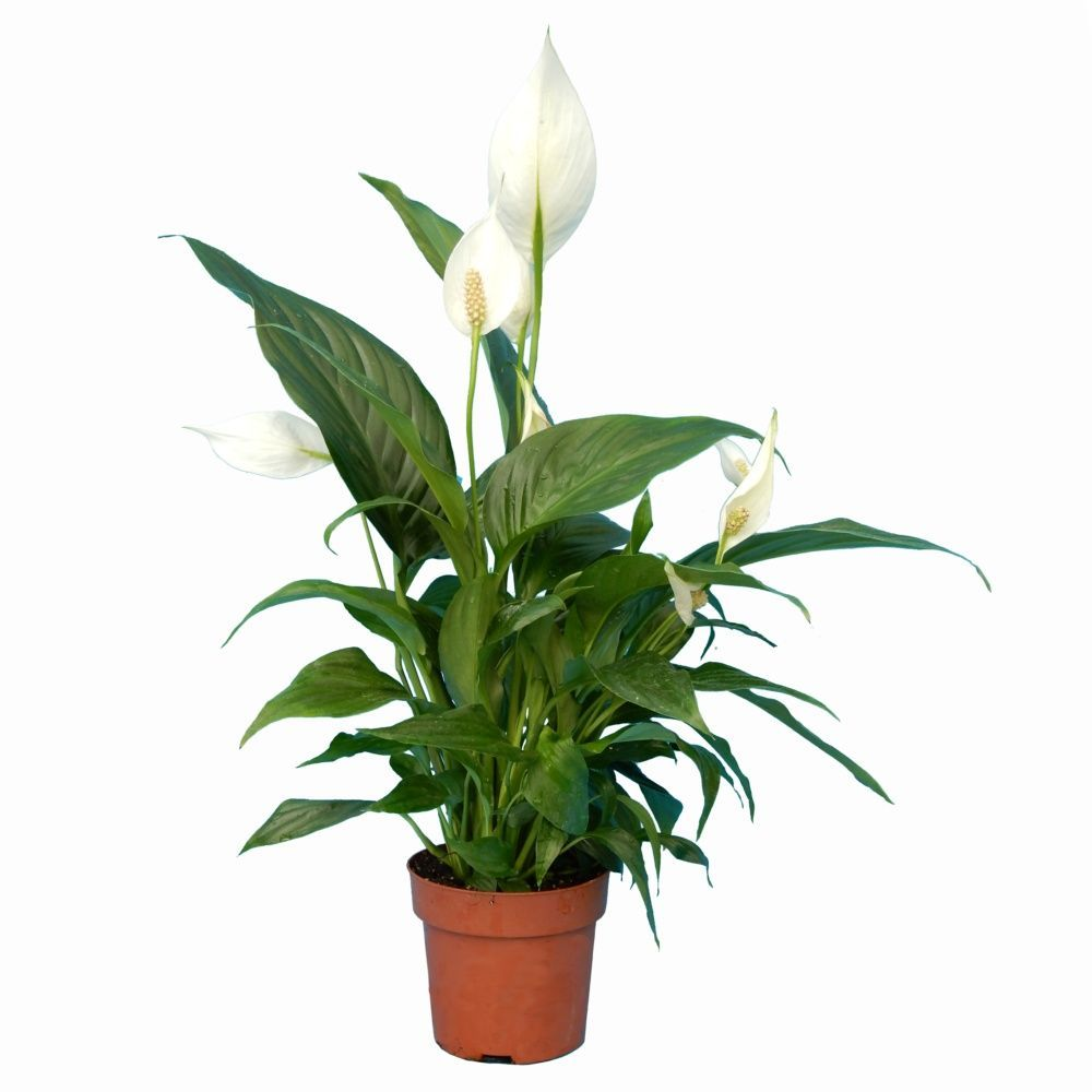 spathiphyllum 55 60 cm plantes et jardins. Black Bedroom Furniture Sets. Home Design Ideas