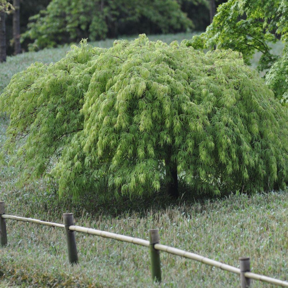 erable du japon 39 dissectum viridis 39 plantes et jardins. Black Bedroom Furniture Sets. Home Design Ideas