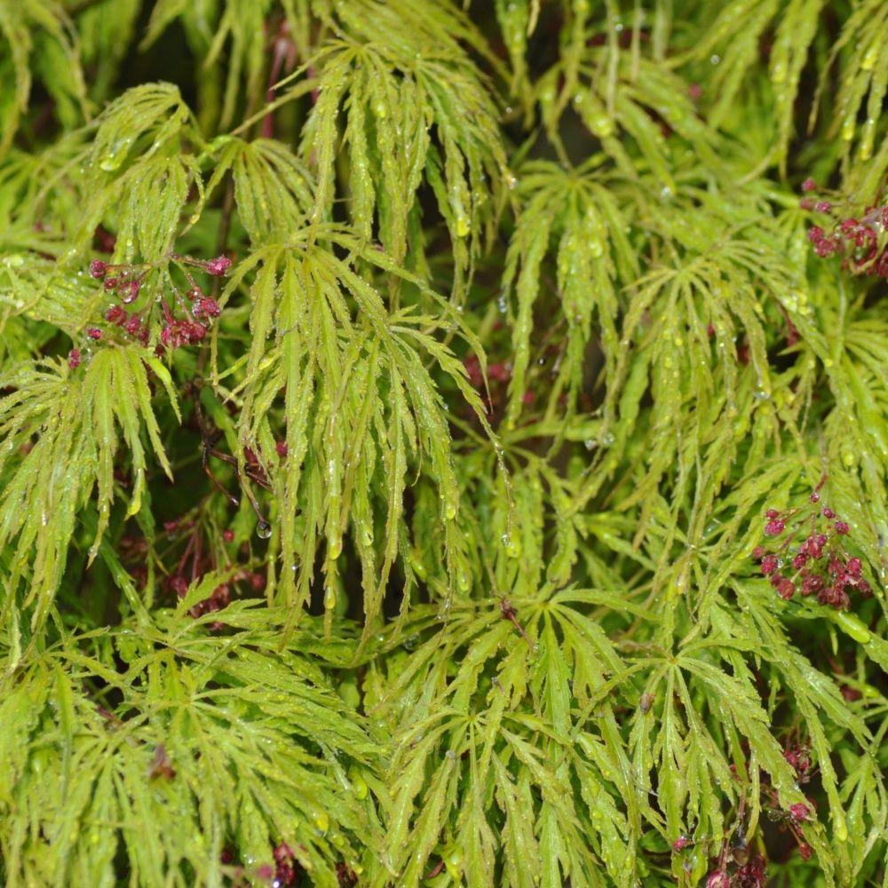 Erable du japon 39 dissectum viridis 39 plantes et jardins - Maladie erable du japon ...