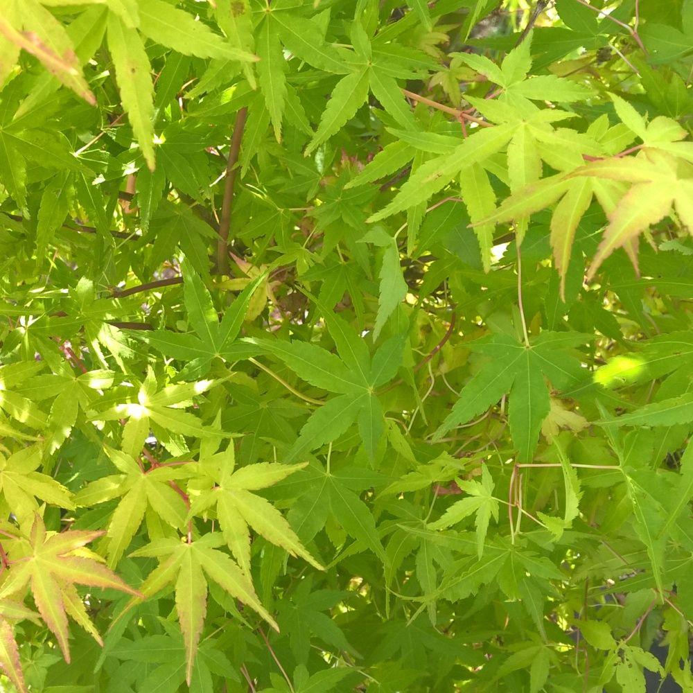 Erable du japon 39 oeno yama 39 plantes et jardins for Plantes et jardins adresse