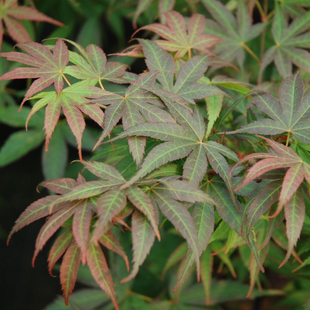 Erable du japon 39 pixie 39 plantes et jardins - L erable du japon ...
