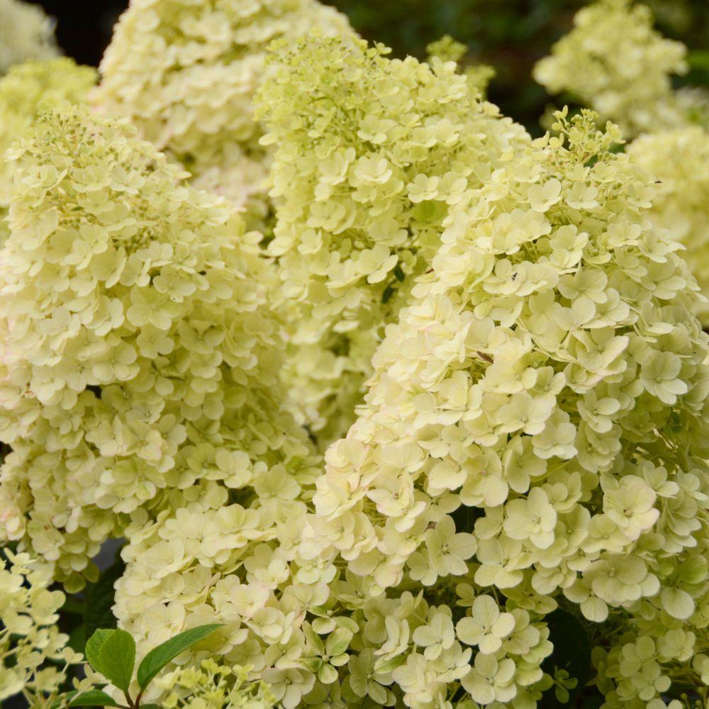hortensia paniculata 39 bobo 39 plantes et jardins. Black Bedroom Furniture Sets. Home Design Ideas