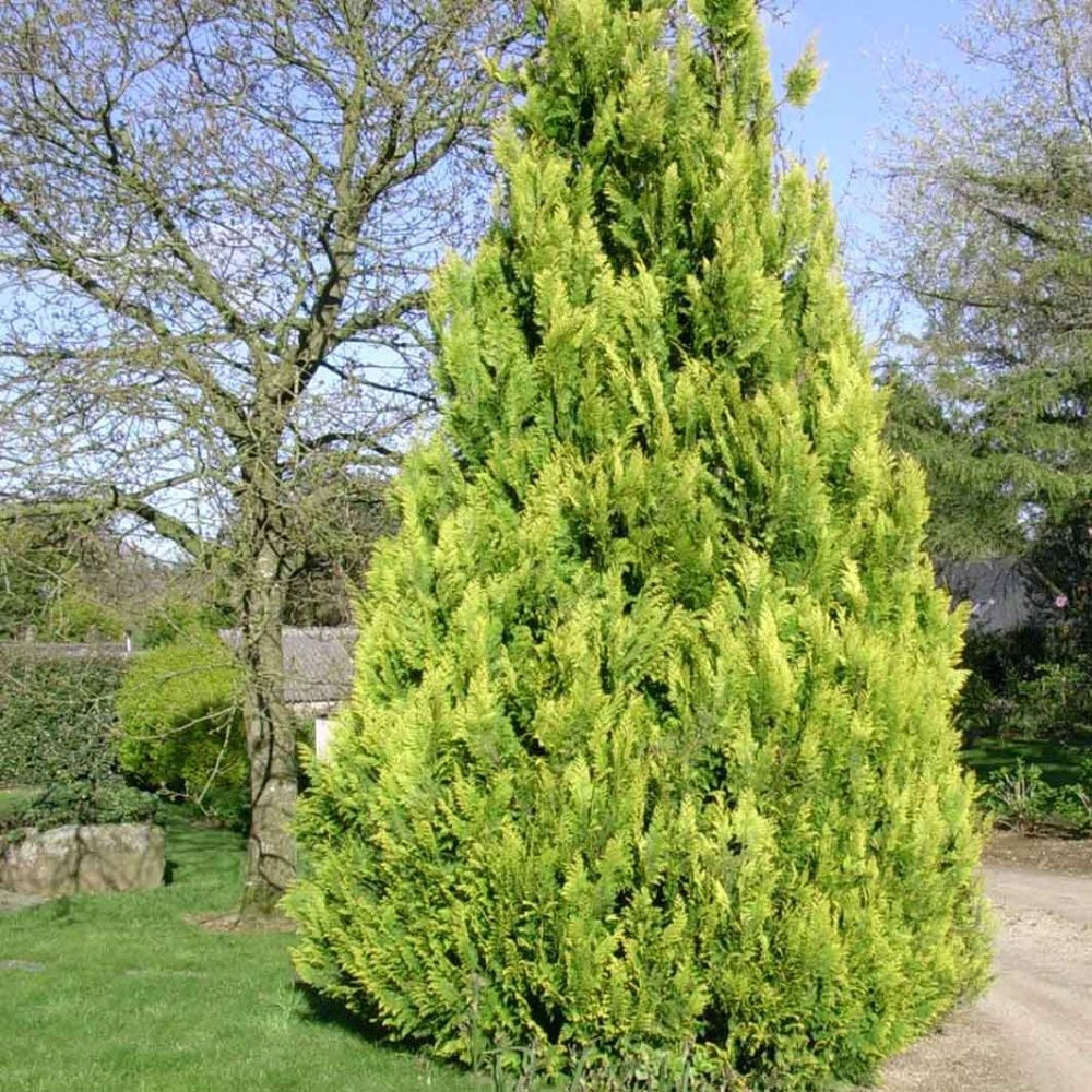 Faux cypr s de lawson 39 ivonne 39 plantes et jardins for Commander des plantes en ligne