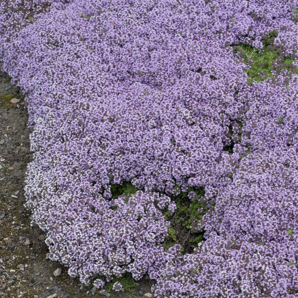 Thym serpolet plantes et jardins for Plante jardin