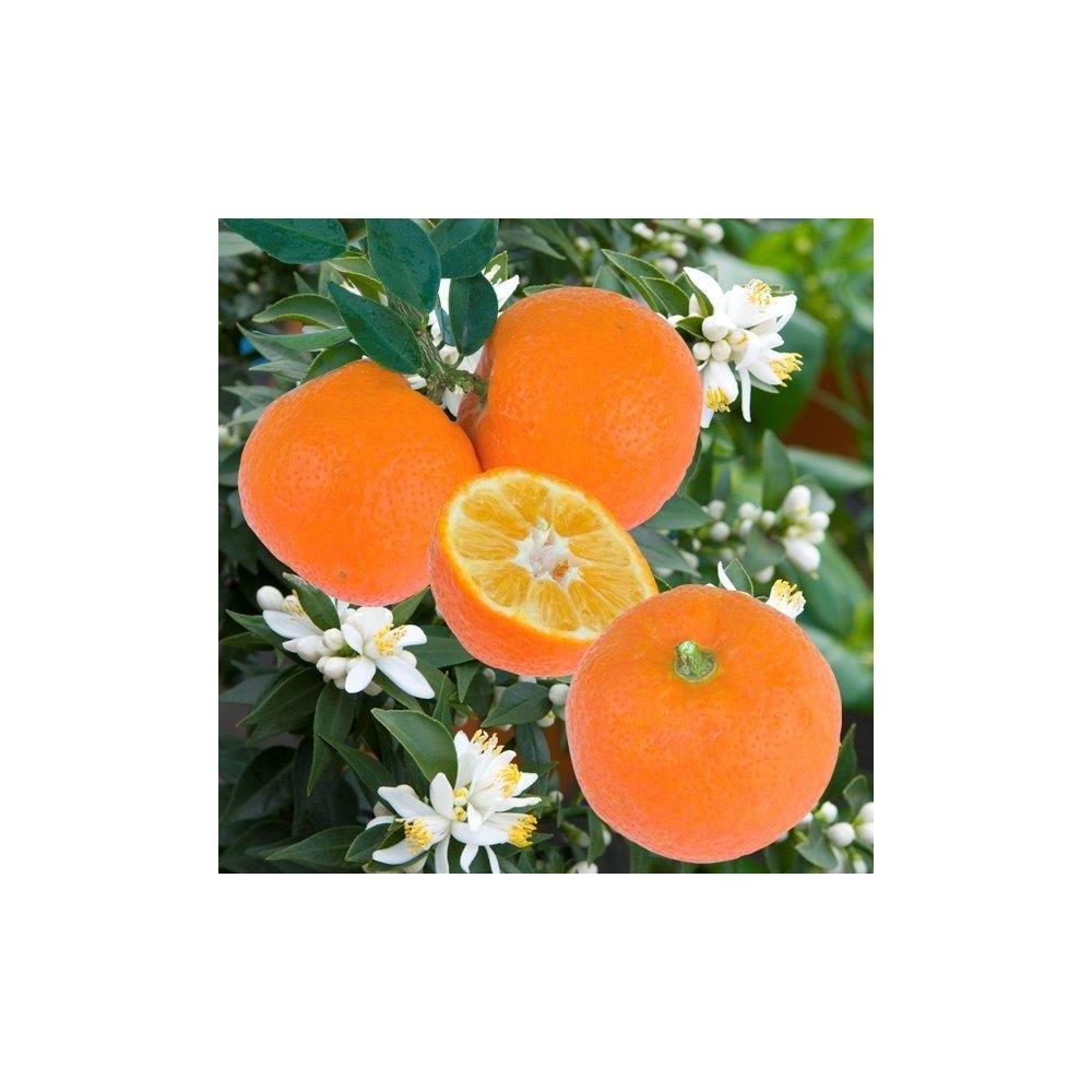mandarinier chinois plantes et jardins. Black Bedroom Furniture Sets. Home Design Ideas
