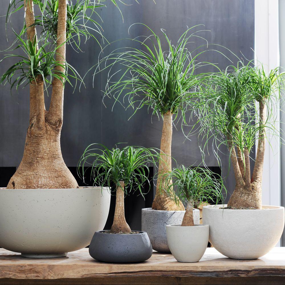 Pied d 39 l phant beaucarnea plantes et jardins - Plante verte appelee pied d elephant ...
