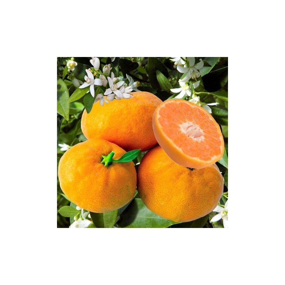 mandarinier 39 satsuma 39 plantes et jardins. Black Bedroom Furniture Sets. Home Design Ideas