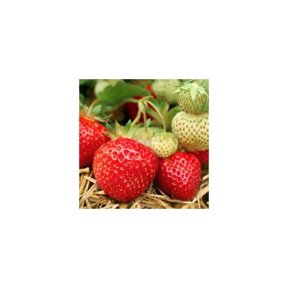 fraisier 39 mara des bois 39 plantes et jardins. Black Bedroom Furniture Sets. Home Design Ideas