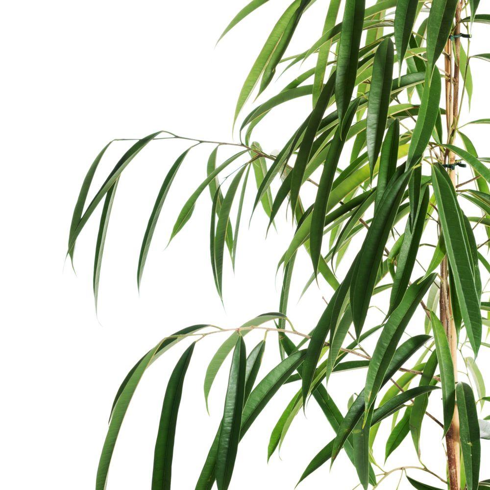 Ficus longues feuilles alii plantes et jardins for Plante 5 feuilles