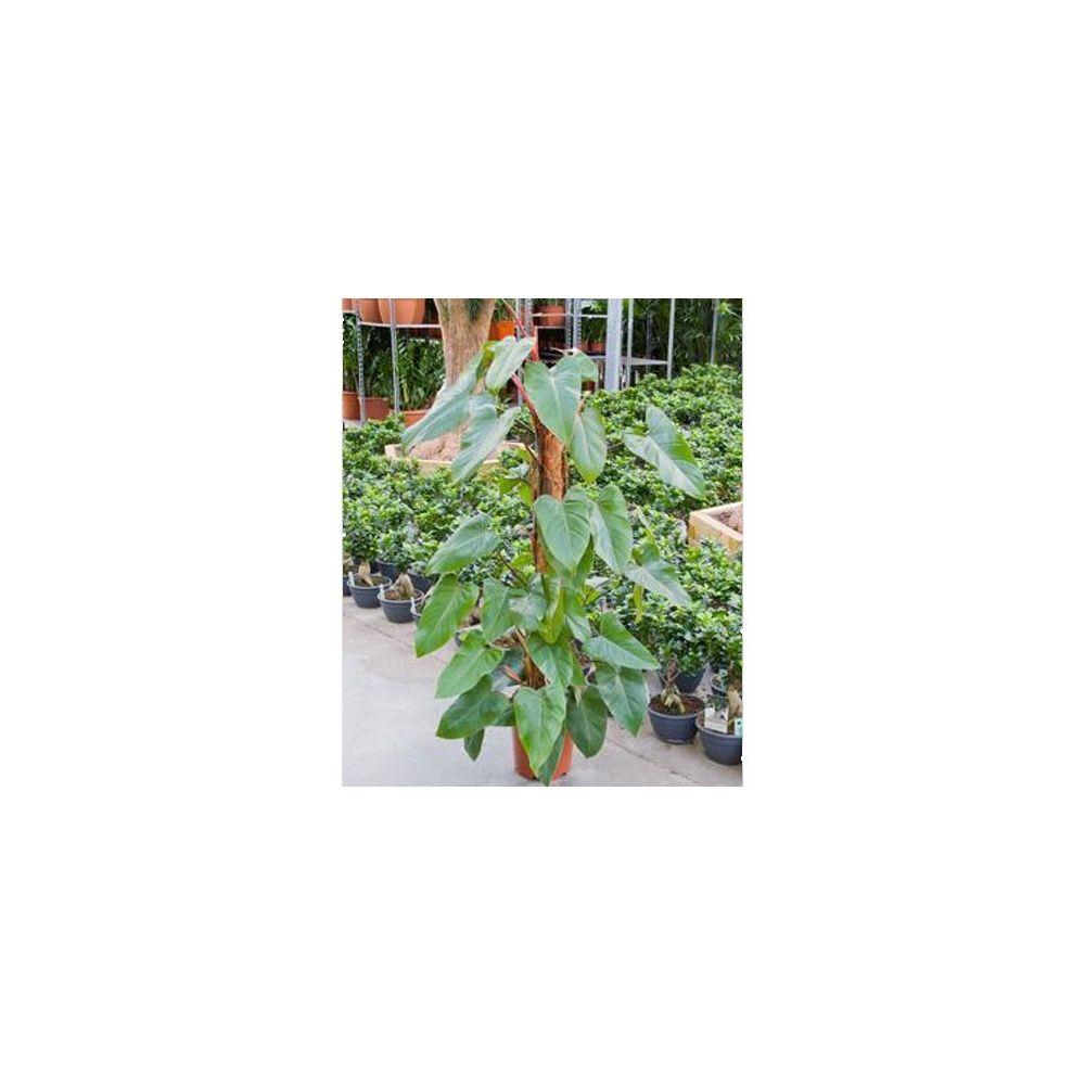 Philodendron 39 red emerald 39 150 cm plantes et jardins for Plante 150 maladies madagascar