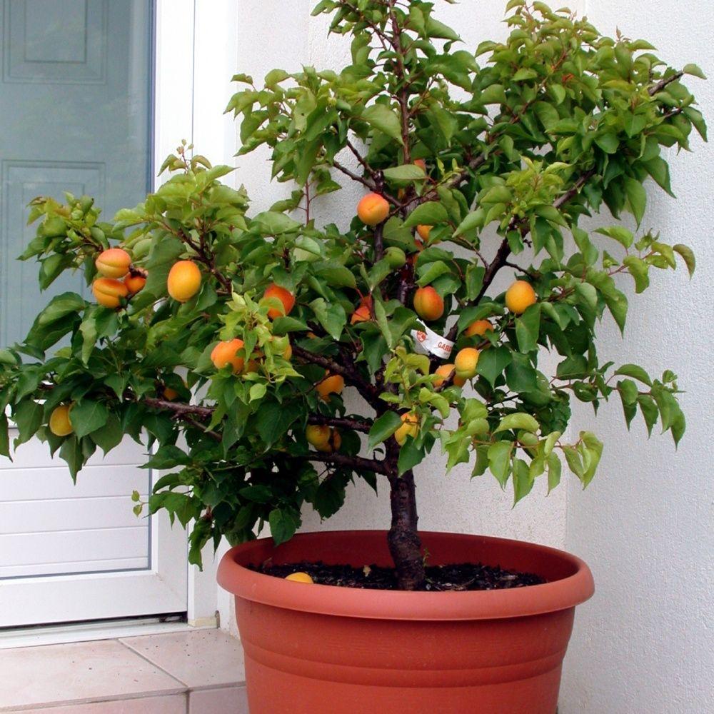 abricotier nain 39 garden aprigold 39 scion racines nues plantes et jardins. Black Bedroom Furniture Sets. Home Design Ideas